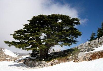 La place de l 39 arbre dans l 39 histoire du salut les journ es paysannes un r seau d 39 amiti de - Cedre bleu du liban ...